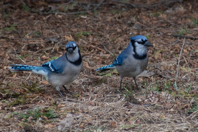 Mr & Mrs Blue Jay